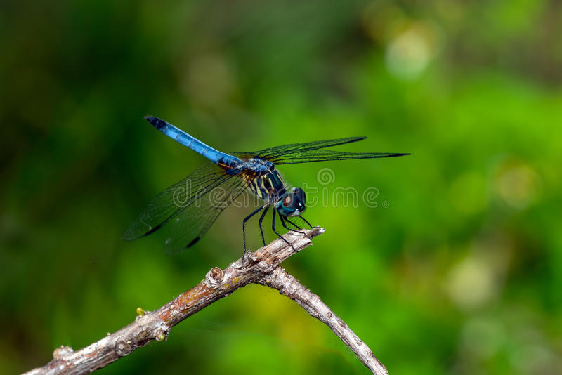 Libélula - dasher azul (longipennis de Pachydiplax) imagenes de archivo