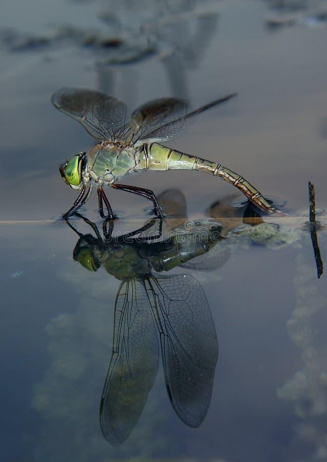 Libélula en el agua foto de archivo libre de regalías