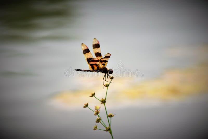 Libélula en la flor fotografía de archivo