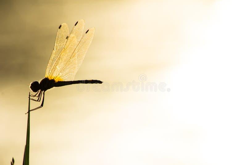 Libélula en la naturaleza, insecto en naturaleza imágenes de archivo libres de regalías