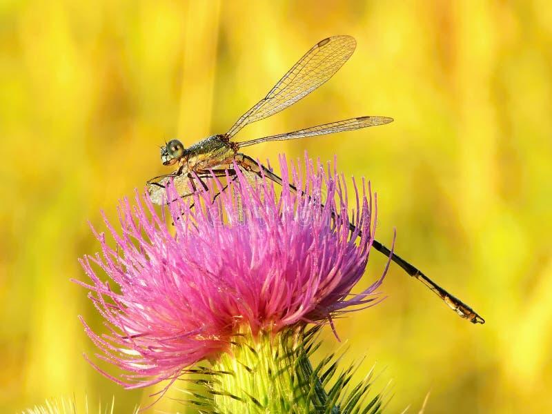 Libélula en las flores rosadas y la luz de oro foto de archivo