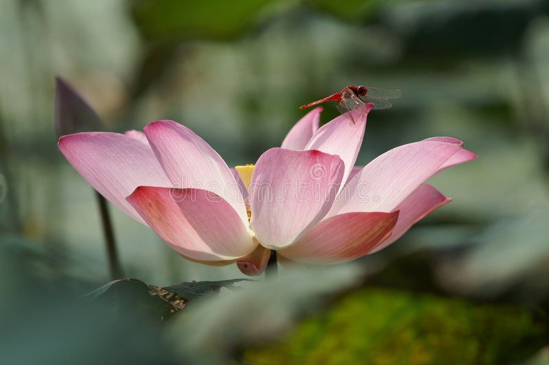 Libélula en loto rosado fotos de archivo