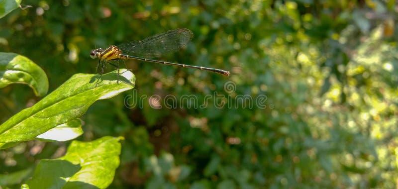 Libélula, libélula en una hoja verde Insecto en un jardín Specis indios de la libélula fotos de archivo