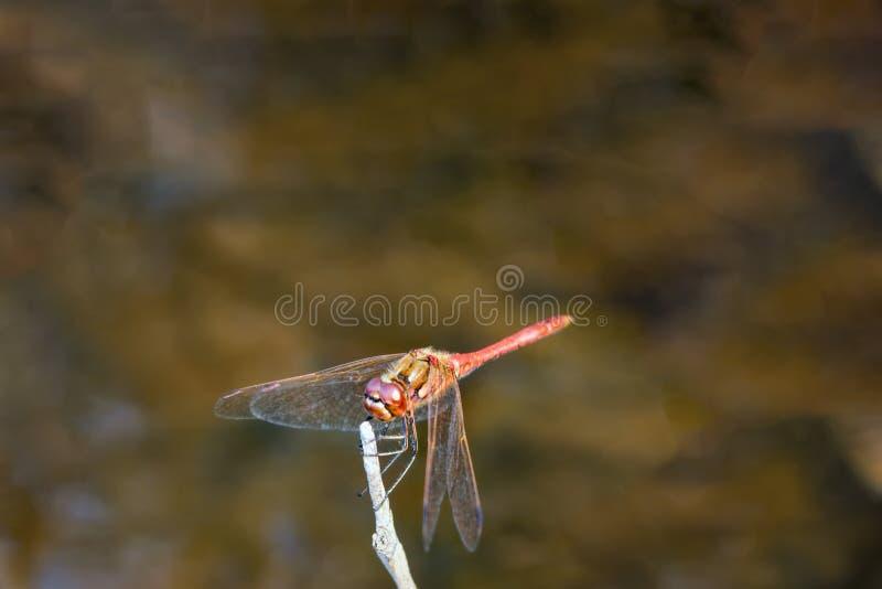 Libélula en una rama sobre la superficie del fondo abstracto del verano del río Lib?lula roja encaramada en un top de la rama del imagen de archivo libre de regalías