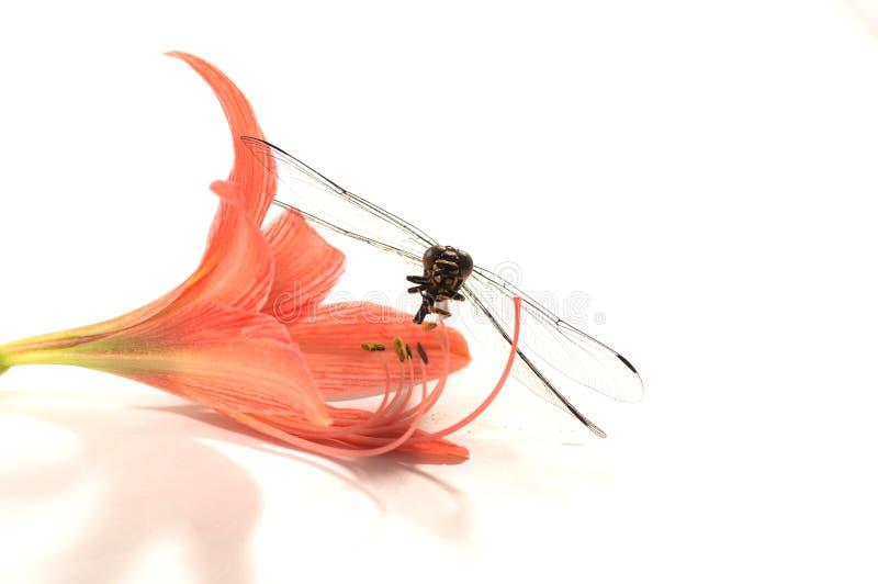 Libélula, fondo blanco, comida del insecto imágenes de archivo libres de regalías