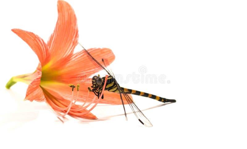 Libélula, fondo blanco, comida del insecto foto de archivo