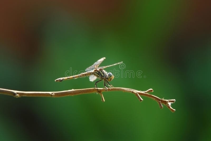Libélula, inseto, animal, natureza, macro, erro fotos de stock royalty free