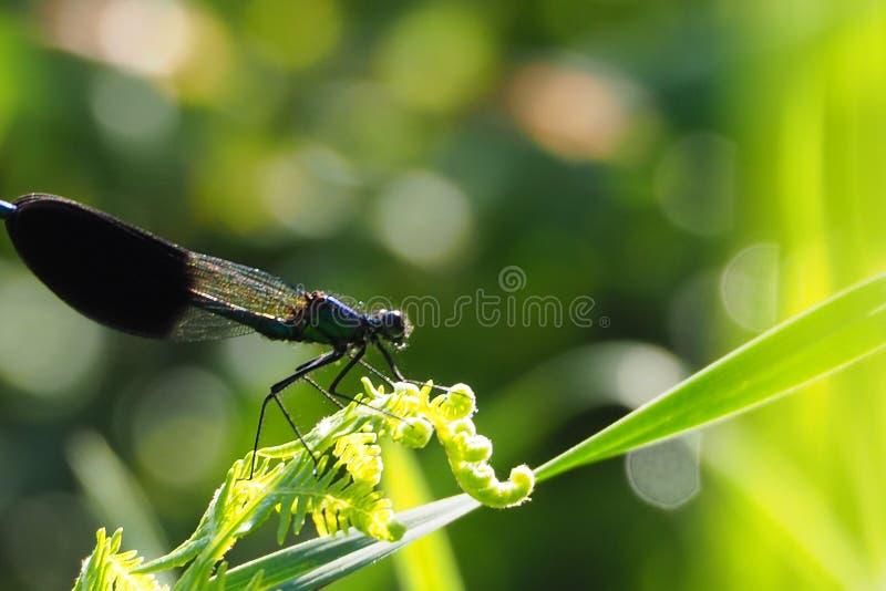 Libélula negra encaramada en sus seis piernas melenudas en la hoja del helecho bajo la forma de tirabuzon, Galicia imagen de archivo
