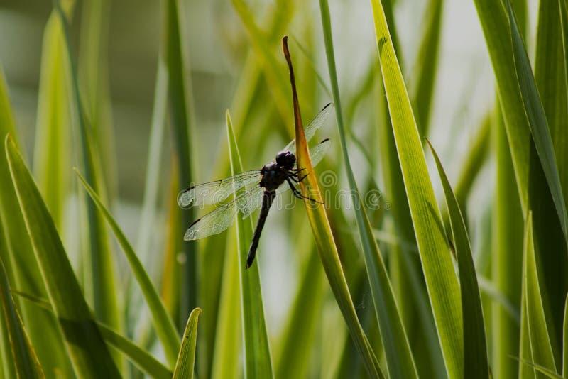 Libélula preta com as asas lascadas que descansam na grama fotos de stock royalty free