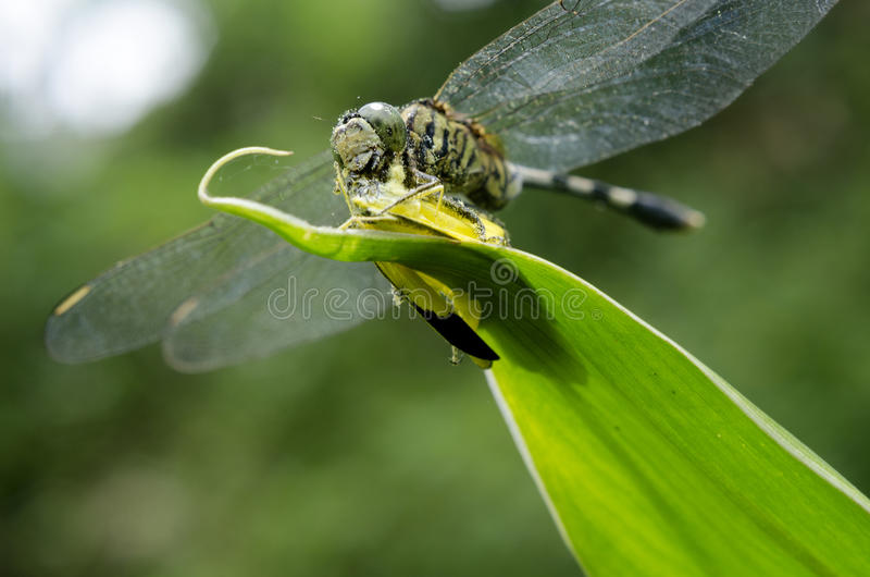 Libélula que come uma mosca foto de stock royalty free