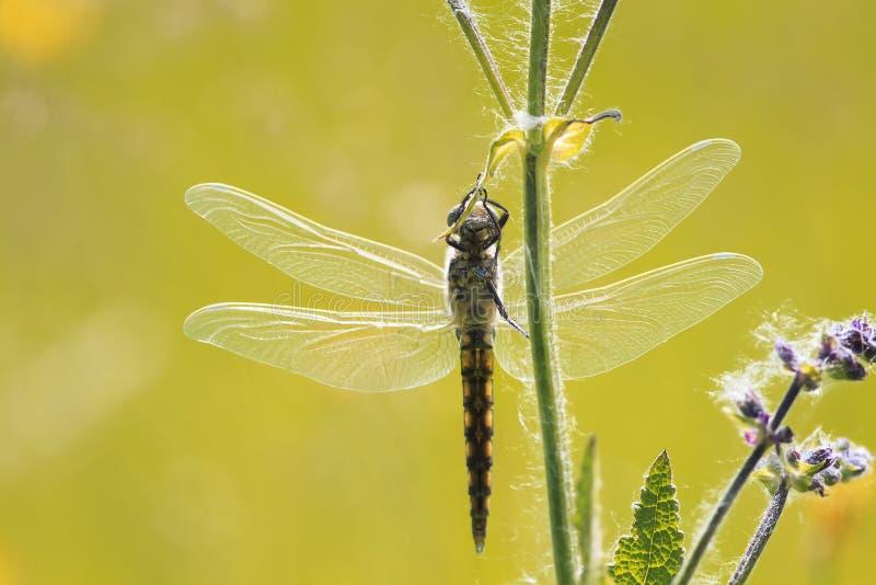 A libélula que pendura sobre à grama, é espalhada extensamente suas asas fotografia de stock