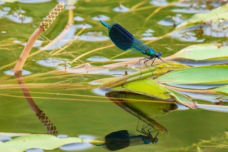 Libélula que se sienta en una hoja con la reflexión en el agua imagenes de archivo