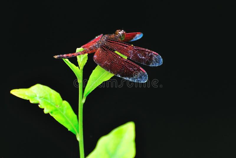 Download Libélula roja imagen de archivo. Imagen de libélula, insecto - 7281461
