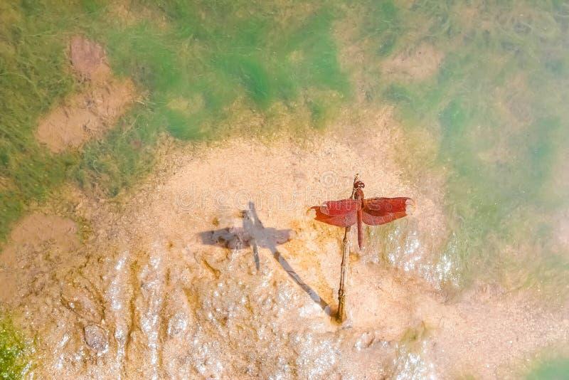 Libélula roja colorida que coge en árbol secado de la rama en la orilla con la sombra del negro de la reflexión en fondo mojado d fotografía de archivo