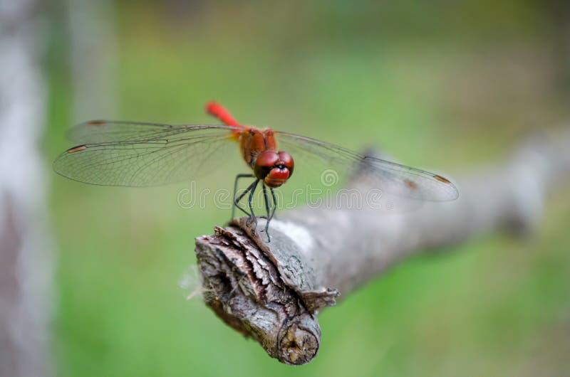 Libélula roja El dropwing anaranjado-con alas kirbyi de Trithemis imagen de archivo libre de regalías