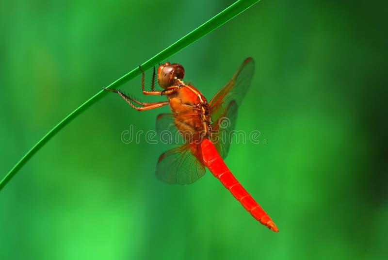 Libélula roja que cuelga de una caña foto de archivo
