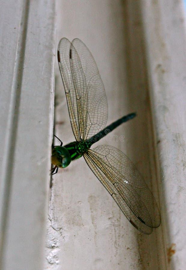 Libélula verde en la pared imagenes de archivo