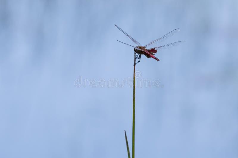 Libélula vermelha do alforje, propagação das asas, pendurando em Reed imagem de stock