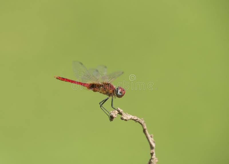 Libélula vermelha vista na lagoa perto de Panvel fotos de stock