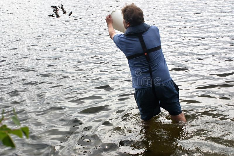 Libération des crabes trop petits de nouveau à l'eau photo libre de droits