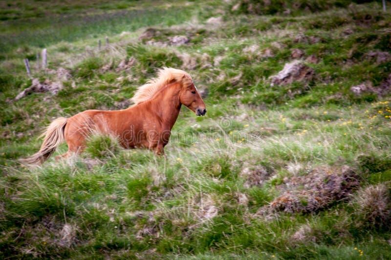 Libérez le cheval en Islande que les vies libèrent images libres de droits