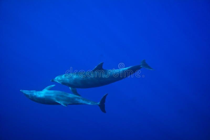 Dauphins sous-marins en Mer Rouge photographie stock libre de droits