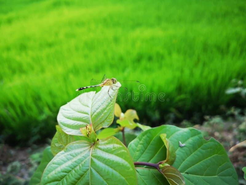 Lib?lula en el campo verde del arroz foto de archivo