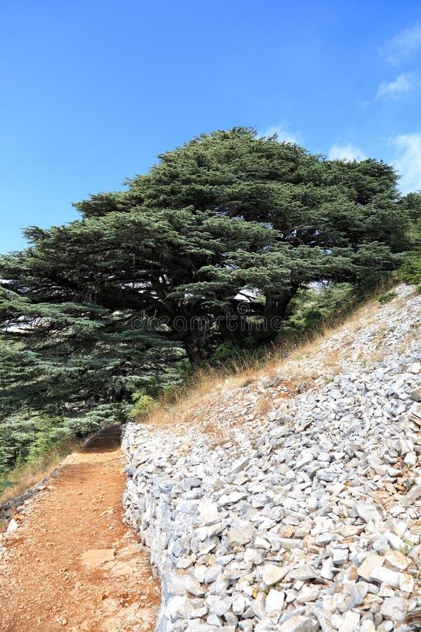 Libanon Cedar Forest royalty-vrije stock afbeeldingen