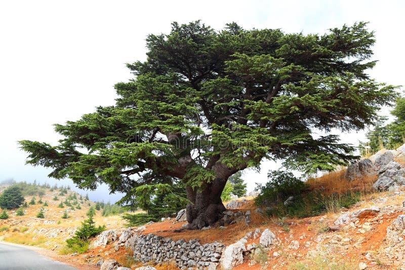 Libanon cederträ på en dimmig dag arkivbild