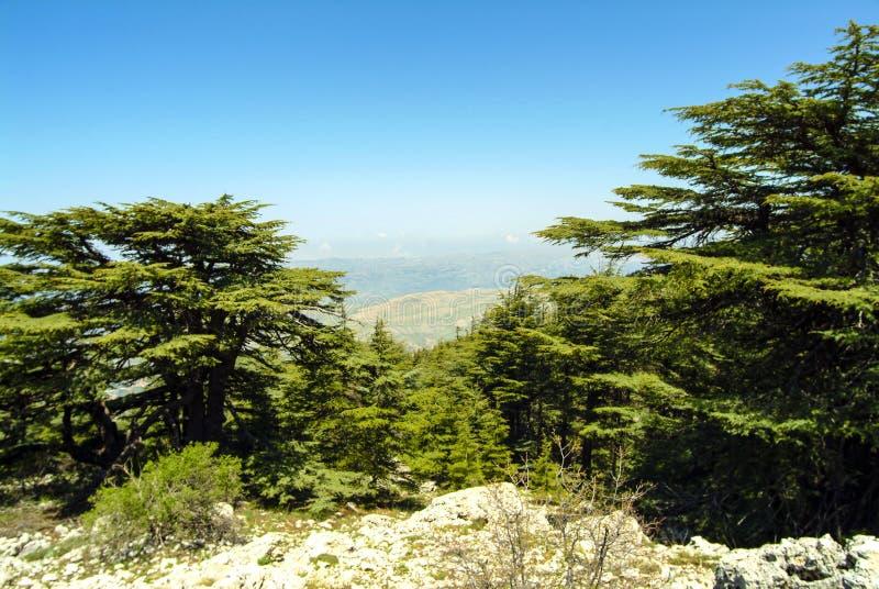 Libanonzedern auf der Gipfelkante der Shouf-Biosphären-Reserveberge, der Libanon stockbild