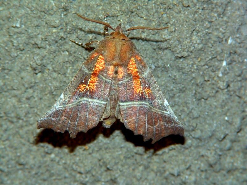 Libatrix de Scoliopteryx de guindineau. image stock