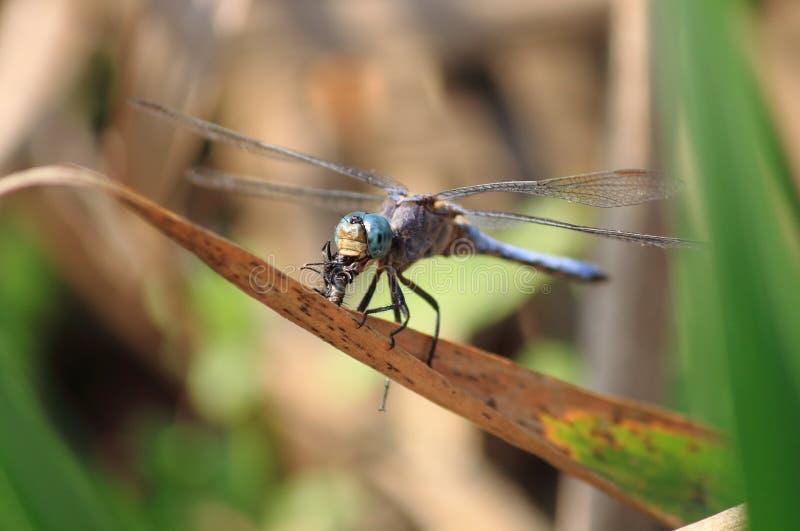 Libel die een vlieg eet stock fotografie