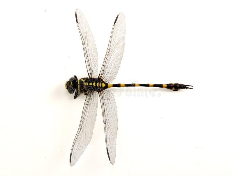 Libel gele en zwarte kleur stock afbeeldingen