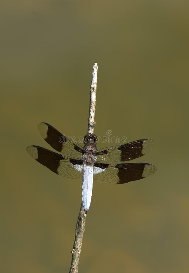 Libel - gemeenschappelijke whitetaillibel royalty-vrije stock fotografie