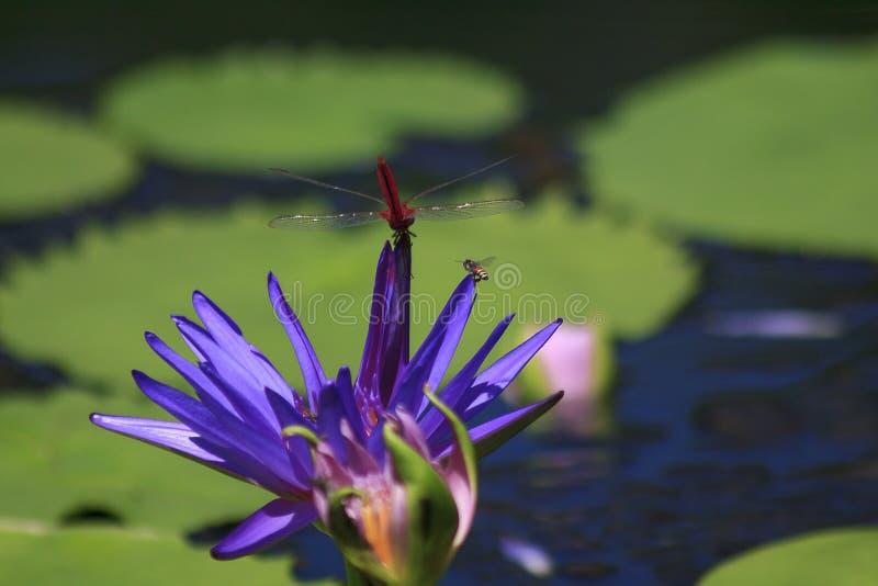 Libel op de purpere lotusbloembloem stock fotografie