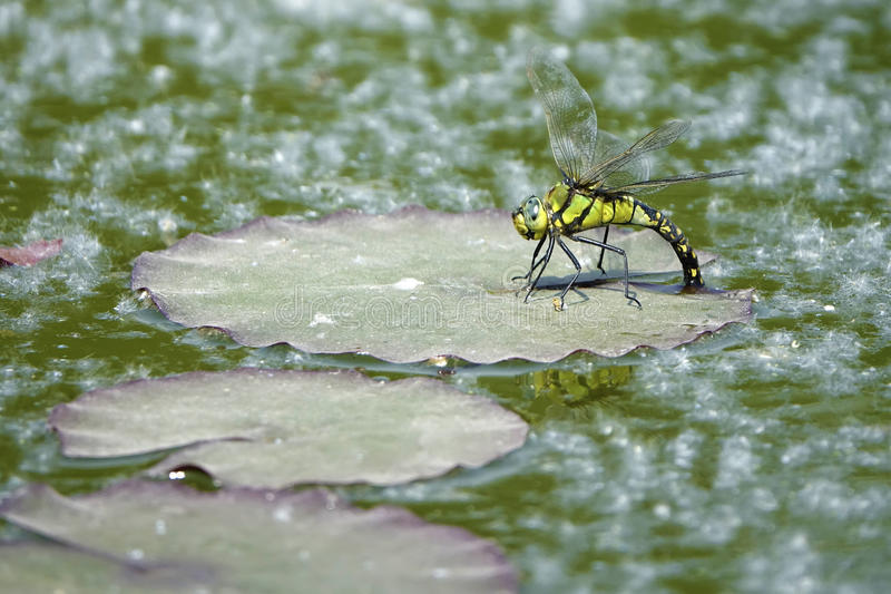 Libel oviposit stock foto