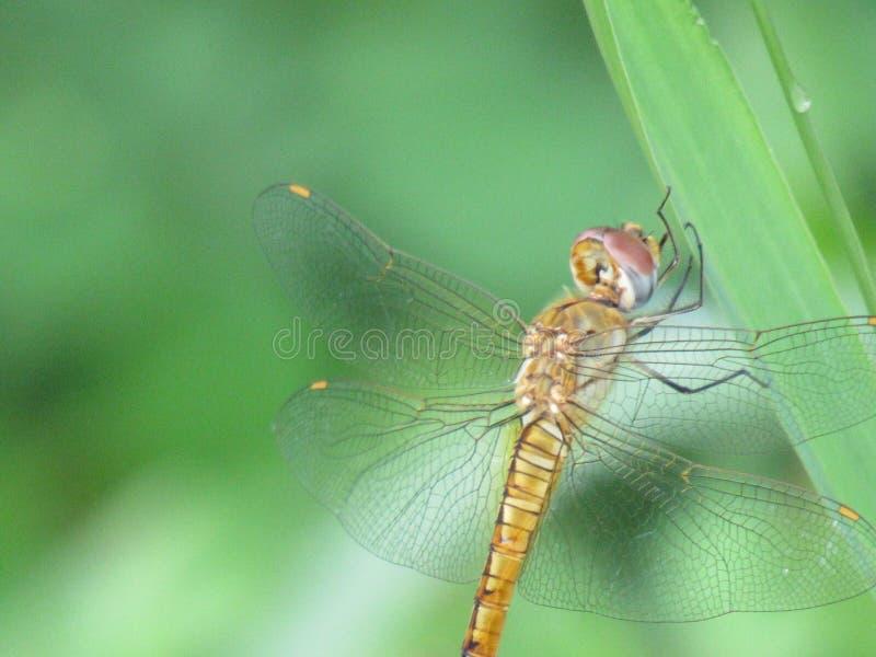Libelle stockbild