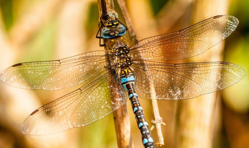 Download Libelle stockfoto. Bild von makro, garten, sommer, raub - 26367368
