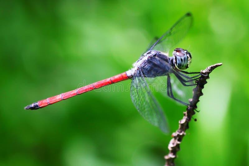 Libelle stockbilder