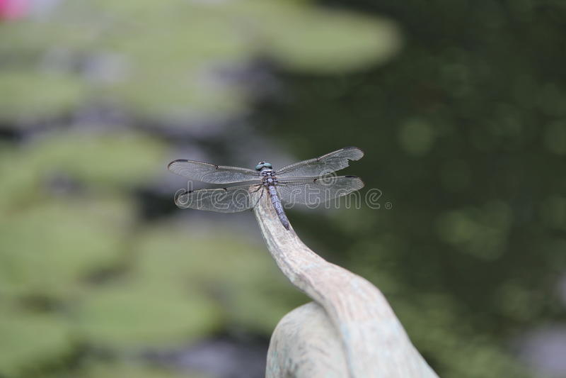 Libelle lizenzfreies stockbild