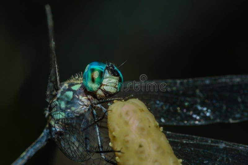 Libelle stockfotos