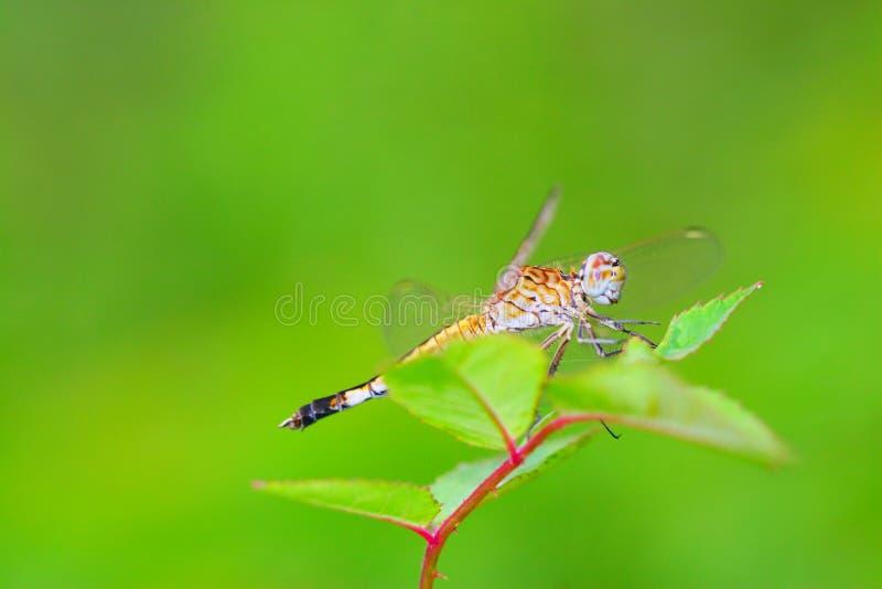 Libelle 8 stockfotografie