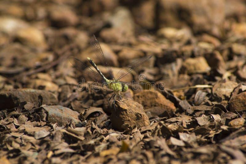 Libelle lizenzfreie stockfotos