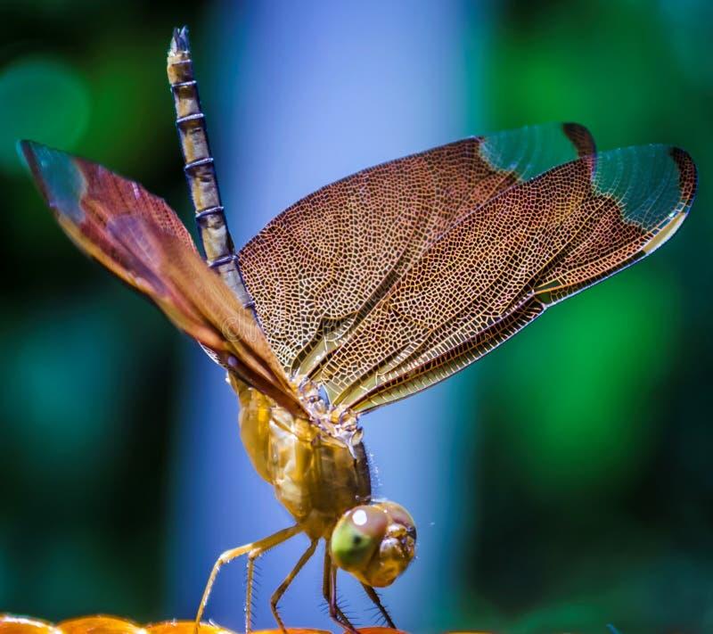 Libelle lizenzfreies stockfoto