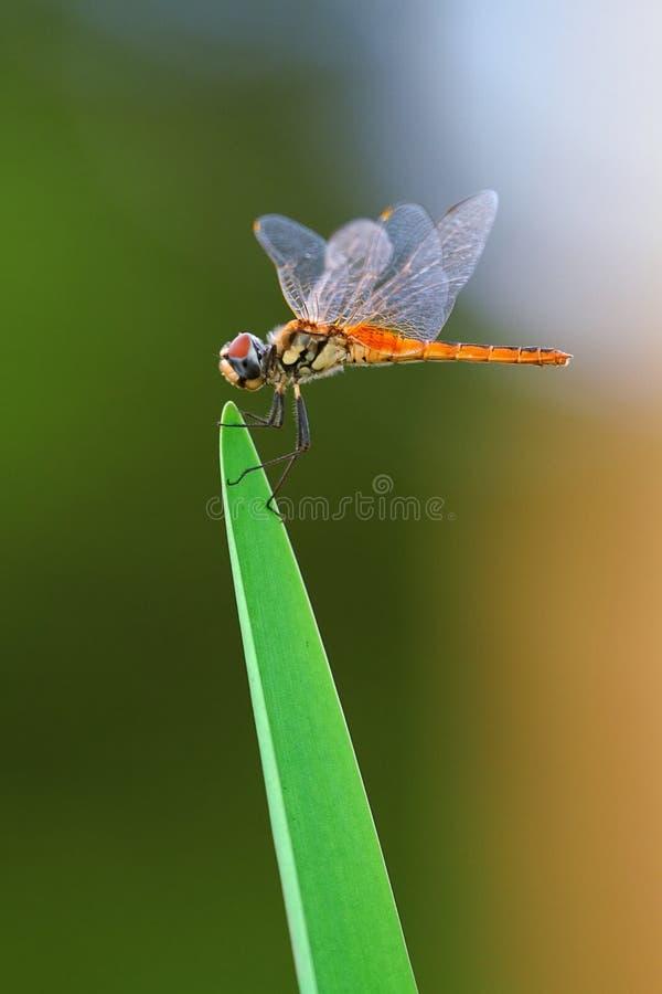 Libelle auf Blatt stockfotos