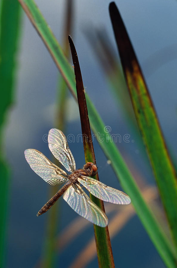 Libelle auf Cattail-Blättern lizenzfreies stockbild