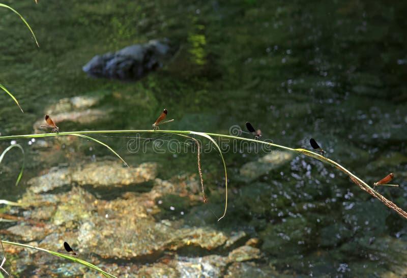 Libelle auf der Bank von Korsika-Fluss lizenzfreie stockbilder