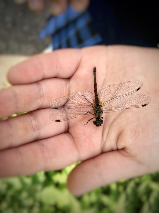 Libelle auf der Kinderhand stockfotografie