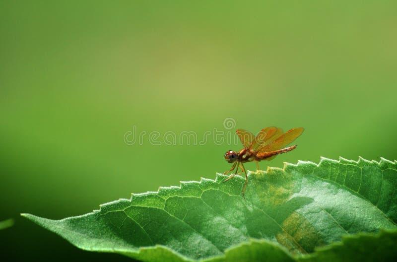 Libelle auf einem Blatt stockfoto