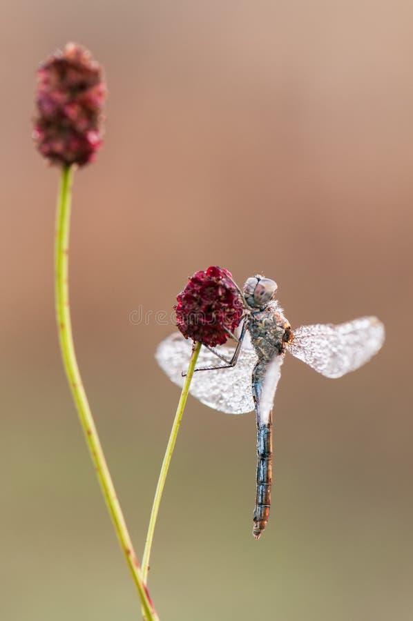 Libelle auf einem Grashalm trocknet seine Flügel vom Tau unter den ersten Strahlen der Sonne stockbilder